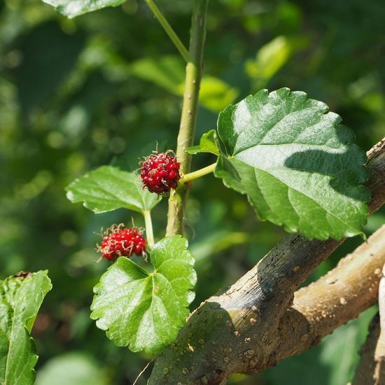 Fruit Leaf Plant Close-up Red Green Color Day Nature No People Outdoors Agriculture Freshness Mulberry Mulberry Tree Summer