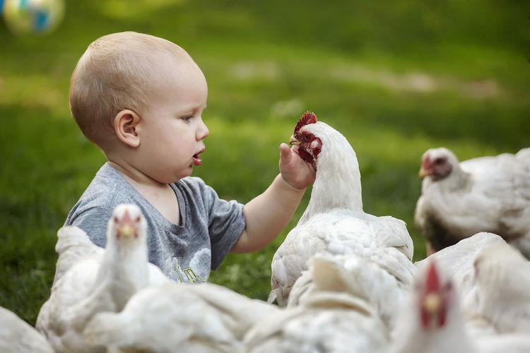 Chicken Baby Babyhood Boys Chicken - Bird Child Childhood Cute Day Eating Food Innocence Males  Nature People Real People Selective Focus White Color Young