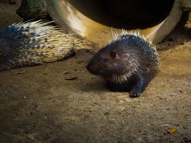Photography Zoo Porcupine Cute Animals Sand Close-up Captivity