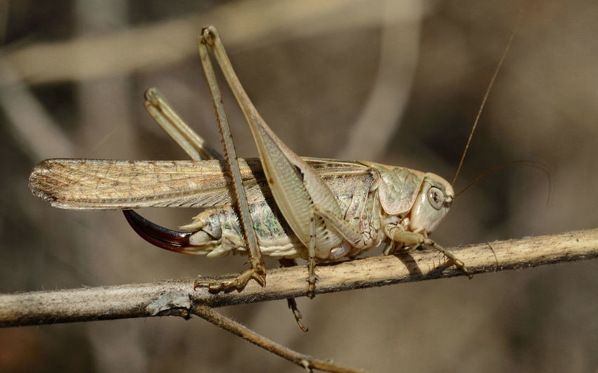 close-up of locust grasshopper Locust Grasshopper Close-up Animal Wing Stick - Plant Part Nature Outdoors Focus On Foreground Insect Animal Wildlife Invertebrate Animal Leg Side View Animals In The Wild One Animal