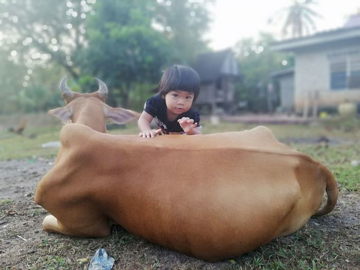 Portrait of girl climbing on cow