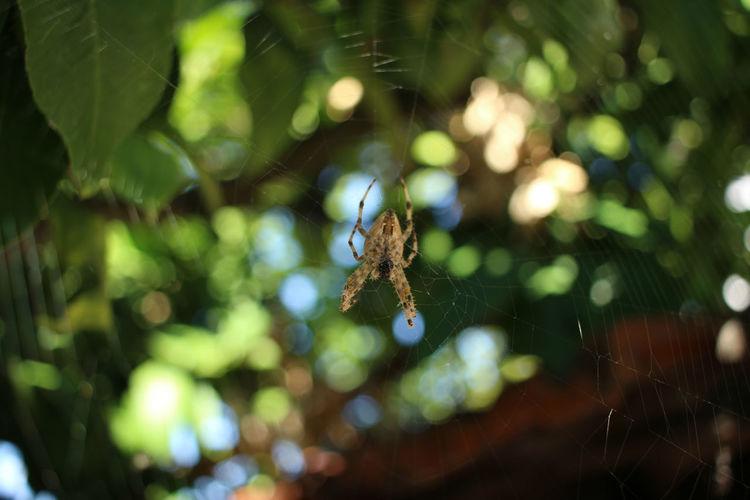 Eating Spider