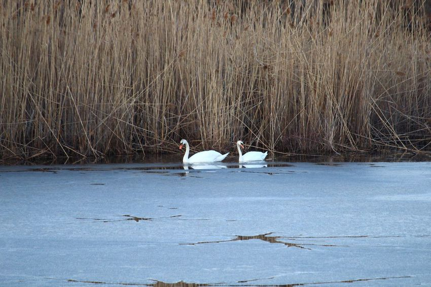 Ice swans Swans On Ice Animals In The Wild Bird Animal Themes Animal Wildlife Nature Day Lake