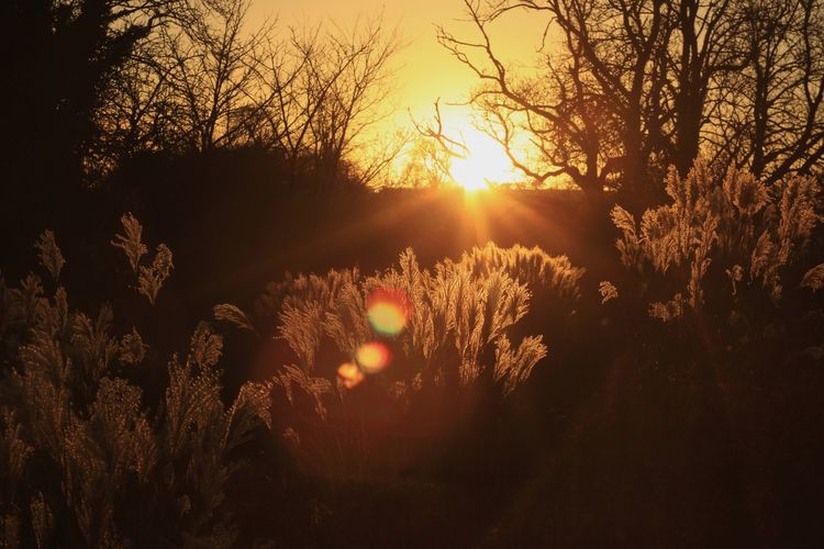 Sunset gold Winter Wales Botanic Garden Wales Grasses Grasses Against Sunset Grasses And Sun Sun Sunset Sunbeam Sunlight Nature Lens Flare Tree Growth Beauty In Nature No People Silhouette Outdoors Tranquility Sky Plant Scenics Day