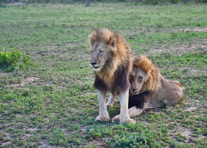 Lions on landscape