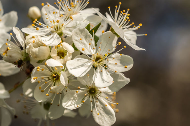 White blossoms on a tree on the green field Apple Blossom Beauty In Nature Blooming Blossom Botany Branch Close-up Day Flower Flower Head Fragility Freshness Growth Nature No People Outdoors Petal Pollen Springtime Stamen Tree White Color