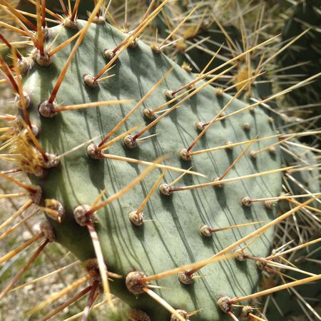 Cacti Desert Desert Plant Joshua Tree National Park Palm Springs Arid Climate Beauty In Nature Close-up Danger Desert Nature Dry Green Color Growth High Angle View Nature No People Outdoors Plant Pointy Spiked Thorny Plant