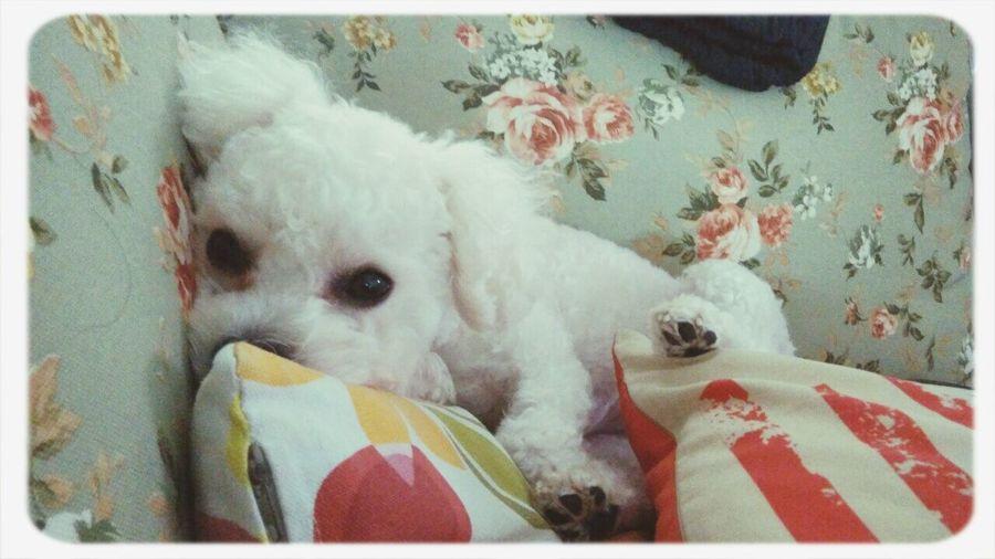 Puppy Bichonfrise