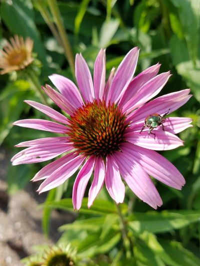 Flower Pink Color Plant Nature Purple Day Outdoors Petal Fragility Flower Head Beauty In Nature No People Freshness Close-up Eastern Purple Coneflower June Bug June Beetle One Animal Focus On Foreground Insect 100 Days Of Summer The Week On EyeEm