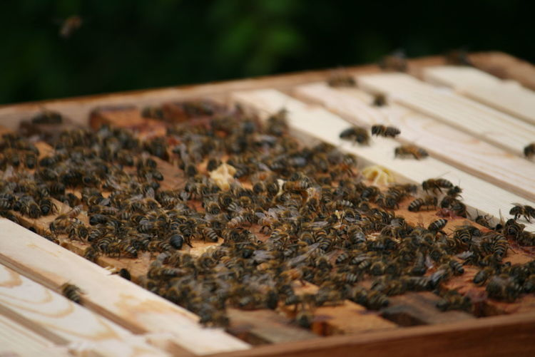 Close-up of honey bees on wooden table