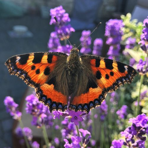 Small Tortoise shell butterfly Butterfly Flower Insect Flowering Plant Invertebrate Animal Themes Animal Wildlife Animal Wing Fragility Plant Vulnerability  Purple Close-up No People Nature