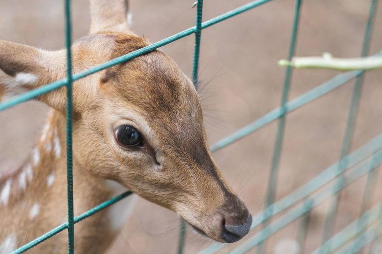 Mammal Animal Themes Animal One Animal Domestic Animals Close-up Vertebrate Focus On Foreground Brown Animal Body Part Fence Barrier Animals In Captivity Boundary No People Animal Wildlife Animal Head  Domestic Pets Zoo Herbivorous Fawn Deer Reindeer