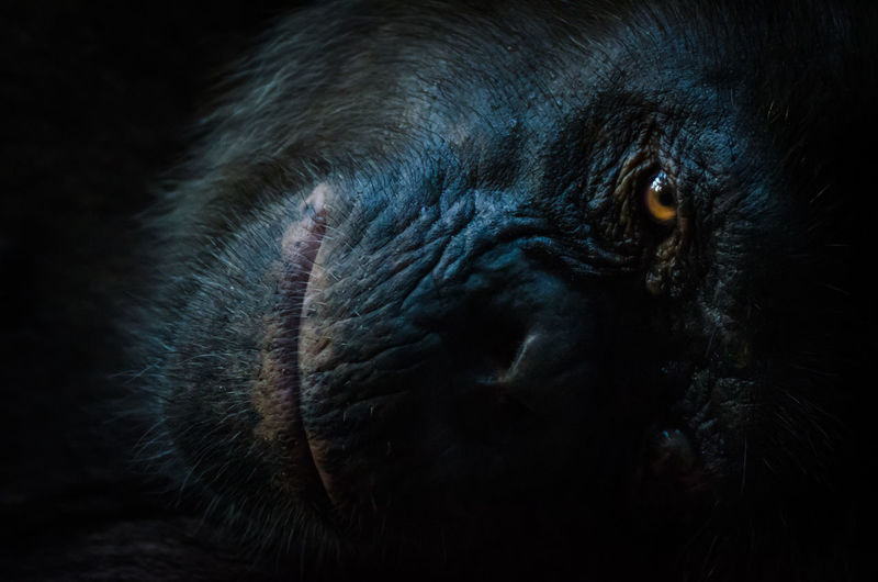Dark Portrait Of Resting Chimpanzee Looking At Camera