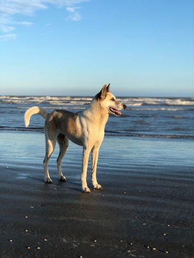 One Animal Mammal Sea Domestic Animals Land Water Dog Beach