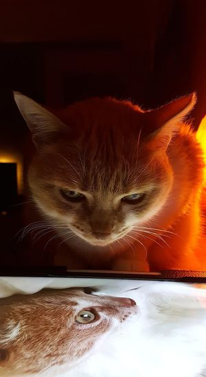 Animal Themes AntiM Cat And Tablet Cat Watching Cat Watching Cat Photography Cat Watching Itself Cats Of EyeEm Close-up Day Domestic Animals Domestic Cat Eddie Tor Feline Indoors  Looking At Camera Mammal My Cat Is Cooler Than Your Kids! No People One Animal Pets Portrait Whisker