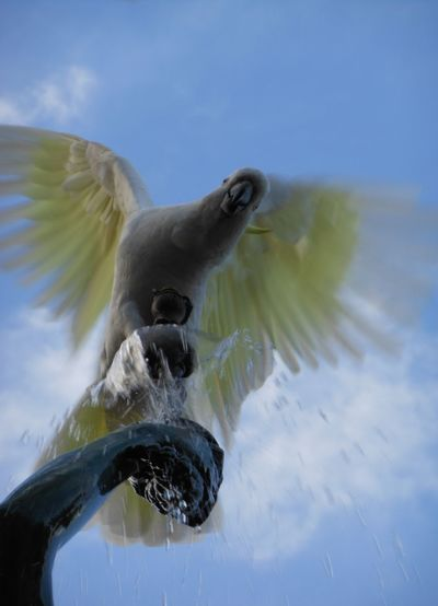 Cockatoo sitting on a fountain at Sydney Botanical Garden Animal Themes Animals In The Wild Bird City Cockatoo Day Drops Feather  Flying Fountain Gracefully Lively Nature In The City One Animal Outdoors Perching Shadow Silhouette Sky And Clouds Statue Sunny Sky Sydney Botanical Gardens  Water Drops White And Yellow Wings