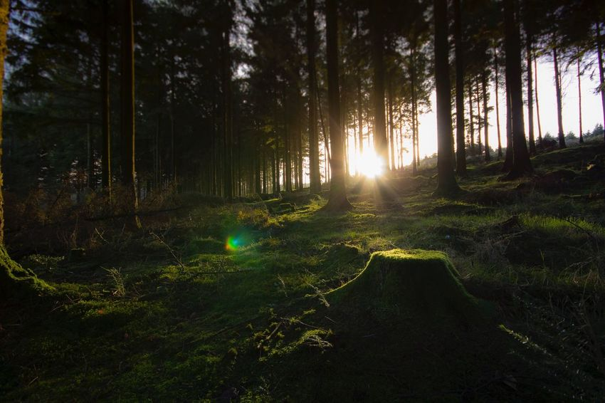 Just a magical sunrise through the trees Tree Nature Forest Landscape Lens Flare Sunlight Sunbeam Beauty In Nature Tranquility WoodLand Tree Trunk Sun Scenics Outdoors No People Grass EyeEmNewHere
