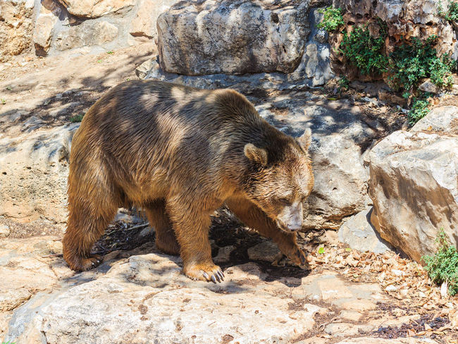 Syrian bear - Ursus arctossyriacus - walking around and looking for food Animal Animals In The Wild Arctossyriacus Around Bear Brown Claw Day Food HEAD Looking Mammal Nature No People One Animal Outdoors Paw Predator Rock Syrian Ursus Walking Wild Wildlife Zoology