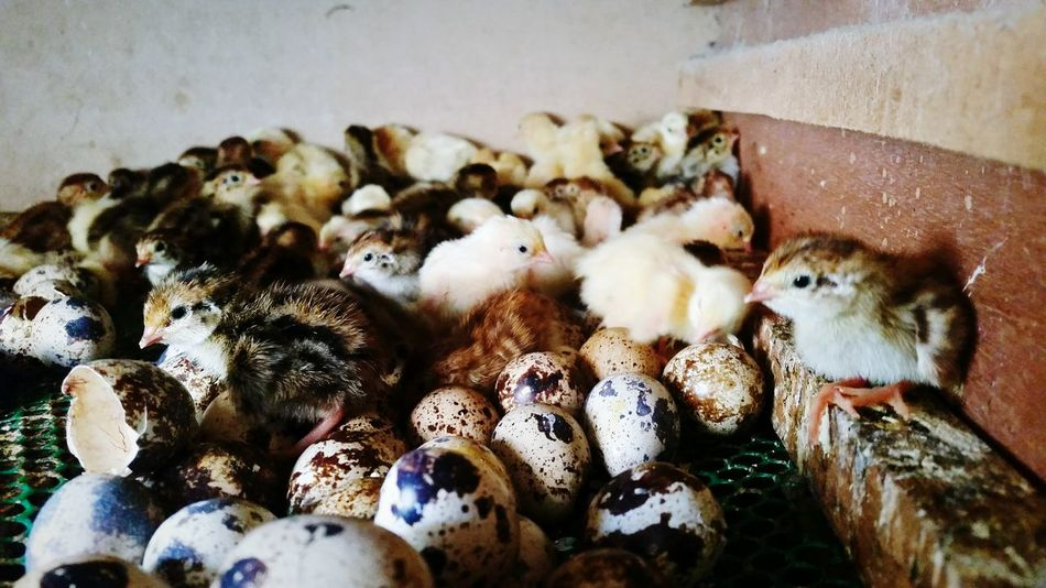 First Day Of Life Chicken - Bird Birds Young Animal Young Birds Farm Quails Photography Animal Themes Indoors  No People Domestic Animals Day Close-up Pets