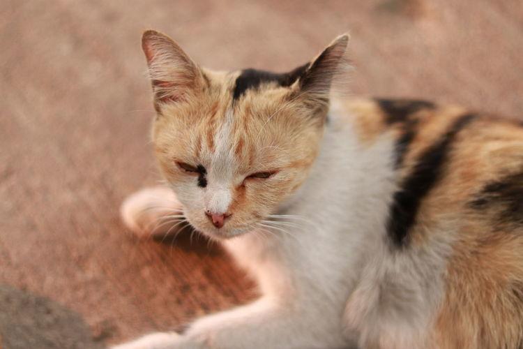 Thai cat Cat