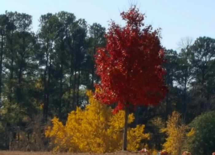 Layers of fall colours Tree Red Nature No People Day Outdoors Beauty In Nature Sky Close-up Nature Beauty In Nature Beautiful Love My Life  Love Layers And Colors Red Yellow Green Treescape Spartanburg, SC No Filter, No Edit, Just Photography