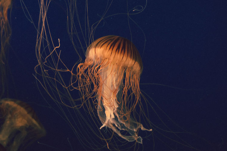 Close-Up Of Jellyfish Swimming Undersea