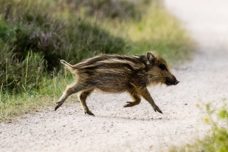 Full length of a dog running on road
