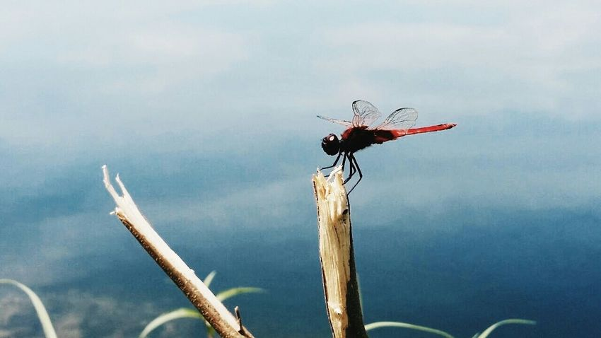 EyeEm Best Shots - Landscape Insect_perfection Eye4photography  Macro Insects Drogonfly