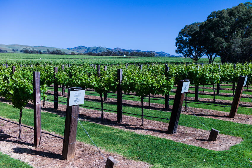Barossa Valley Agriculture Beauty In Nature Clear Sky Day Field Grass Green Color Growth Landscape Nature No People Outdoors Rural Scene Scenics Sky Tranquil Scene Tranquility Tree