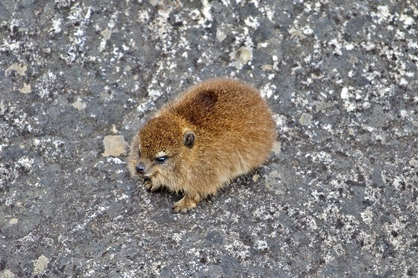 Animal Themes Animal Animal Wildlife One Animal Animals In The Wild Mammal No People Vertebrate High Angle View Brown Rodent Outdoors Nature Marmot