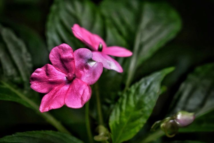 Como el paso del tiempo deja huella en nuestra piel... Beauty In Nature Flower Petal Flower Head Close-up Blooming Pink Color Outdoors Uniqueness Delicate Freshness No People Nikon_photography EyeEmNewHere