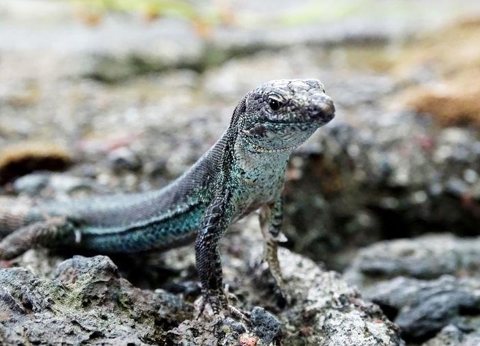 Lizard Watching Animal Themes Animals In The Wild Animal Photography Iguana Reptile Lizard Close-up