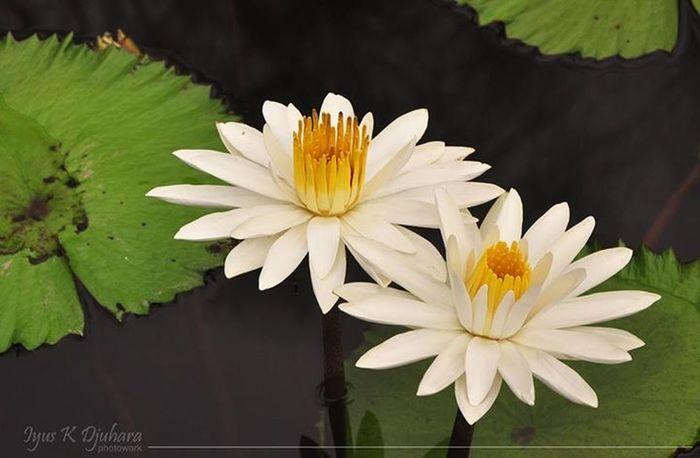 Flower Lotus Sumber Alam Resort Garut Teratai