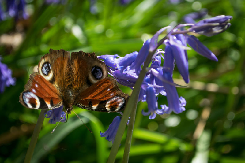 Butterfly on a Bluebell flower Close-up Butterflies Butterfly - Insect Bluebell Bluebells Butterflies And Flowers Butterfly Outdoors Beauty In Nature Nature No People Day Insect