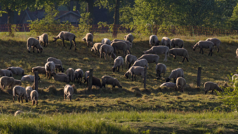 Sheeps Animal Themes Day Domestic Animals Flock Of Sheep Grass Grazing Herd Large Group Of Animals Nature No People Sheep Sheep Herding