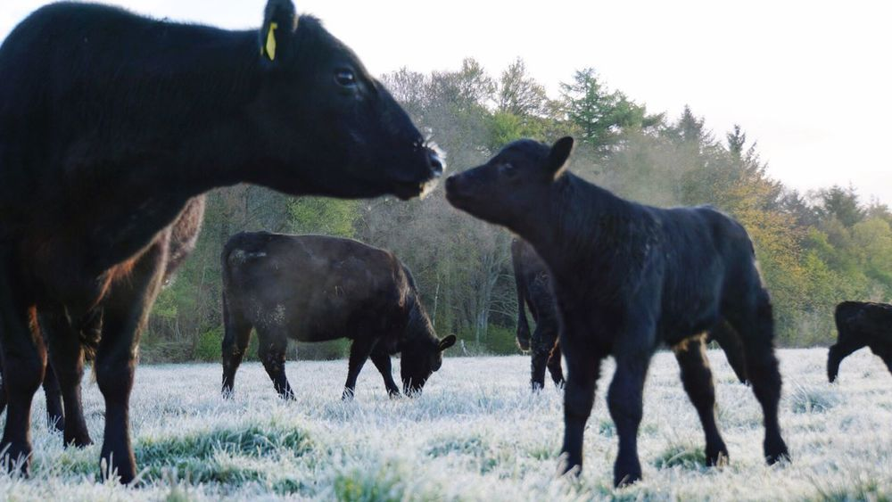 Black Angus Nature Cow Animal Themes Beauty In Nature Zoomnl Nature Photography Country Discover Nature Mother & Daughter Kiss