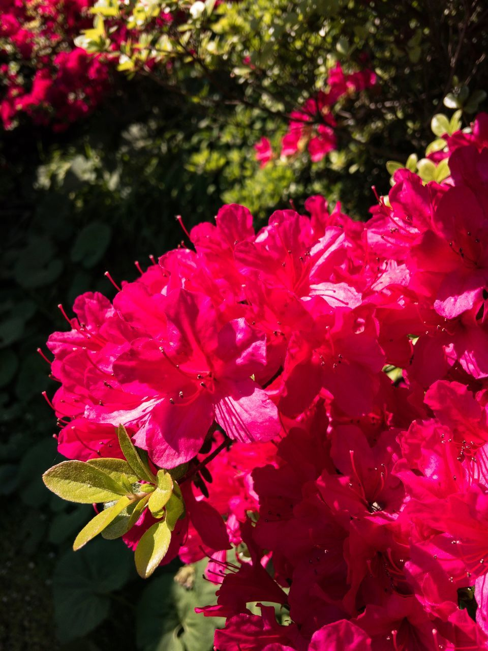 flower, growth, beauty in nature, fragility, petal, freshness, nature, plant, flower head, pink color, blossom, botany, no people, rhododendron, outdoors, springtime, close-up, day, blooming, red, stamen, bougainvillea, leaf, water, petunia