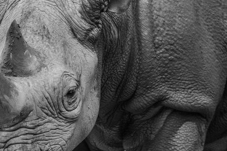 Animal Body Part Close-up Day Detail Focus On Foreground Lifestyles Nature Part Of Rhino. Detail Fine Art Photography
