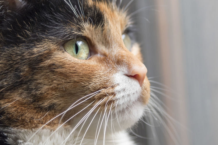 Calico cat cute face close up. Breed Calico Longing Reflection Animal Themes Close-up Companion Day Domestic Animals Domestic Cat Fleas And Ticks Health Care Hunting Indoors  Mammal No People One Animal Pets Pets Tabby Window