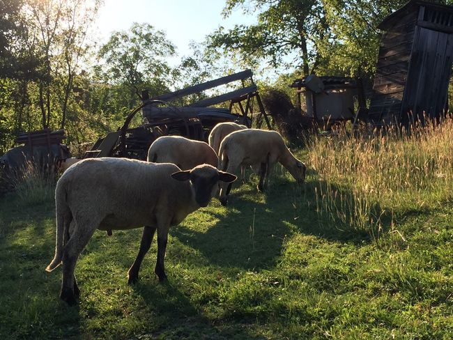Sheep grazing, small holding in Slovakia Domestic Animals Farm Animal Themes Livestock Nature Photography Nature Slovakia Grazing Farming