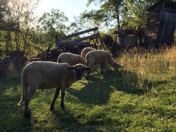 Sheep grazing, small holding in Slovakia Domestic Animals Farm Animal Themes Livestock Nature Photography Nature Slovakia Grazing Farming