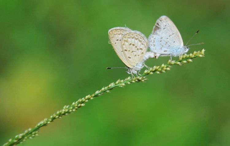 when they met their mate Eyem Macro Nikond300 Naturelovers Nature Photography Nature Nikon Butterfly Bokeh Bokehphotography Nikonnl Perching Flower Spread Wings Butterfly - Insect Leaf Insect Full Length Conformity Close-up Animal Themes