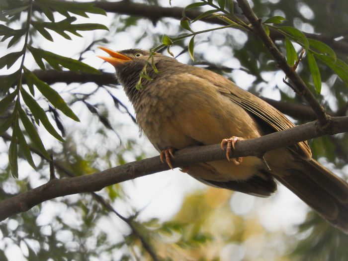 Jungle babbler India Babbler Jungle Babbler Bird Perching Tree Branch Close-up Sky Feather  Beak Feather  Animal Neck