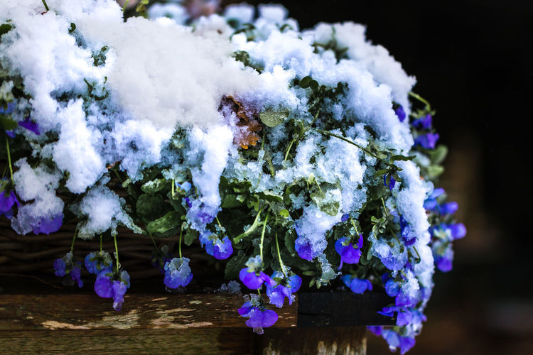 Winter blanket on violets AI Now Violets Beauty In Nature Blue Close-up Cold Temperature Day Flower Flower Head Fragility Freshness Growth Nature No People Outdoors Plant Snow Snow Covered Tree Winter Violets
