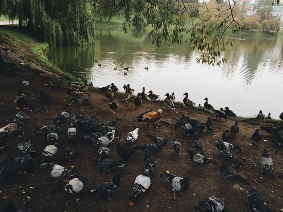 Ducks Pigeons Feeding The Birds Pond Near Water Nature Nature Photography Nature On Your Doorstep Moscow Novodevichy Monastery Walking Around