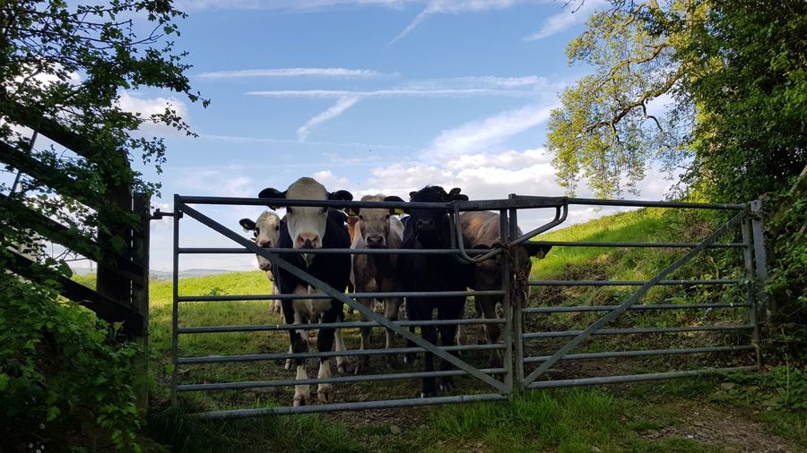 Cows Cows In A