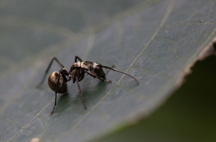 Animal Behavior Animal Themes Animals In The Wild Ant Ant Photography Close-up Day Focus On Foreground Fragility Insect Leaf Nature No People One Animal Plant Selective Focus Wildlife