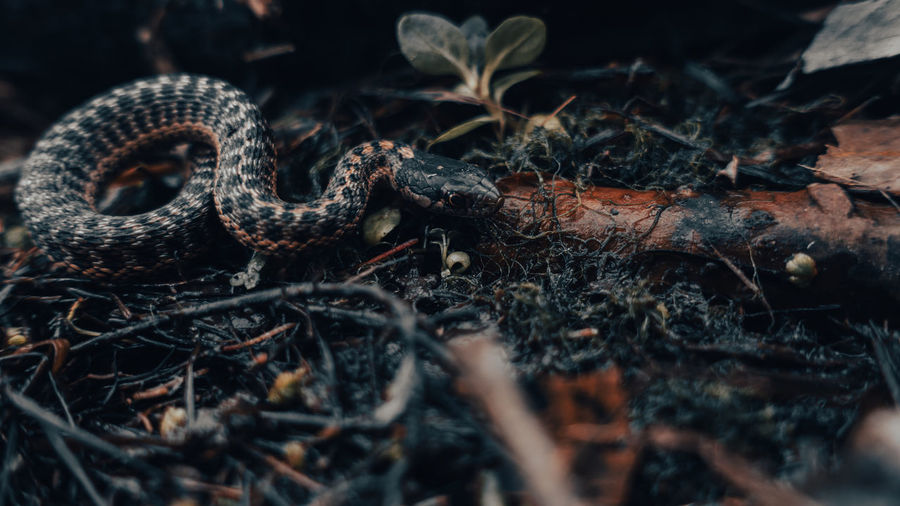 Close-up of a snake hunting for its next meal.