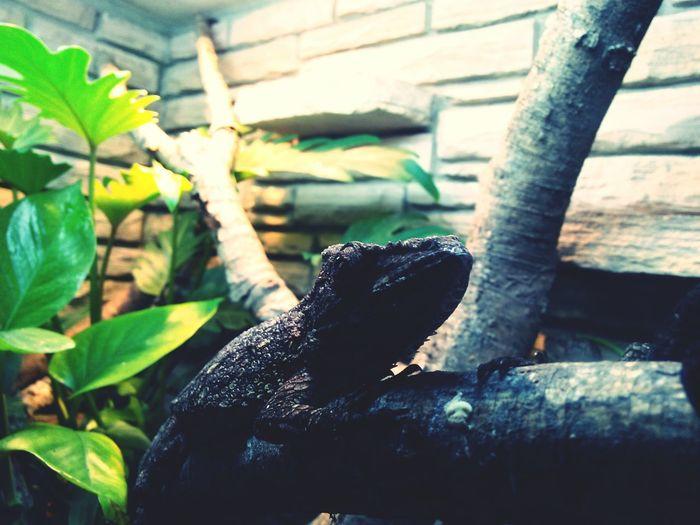 Reptile Lizzard