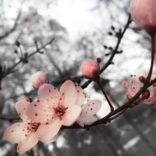 Blossom Hanami